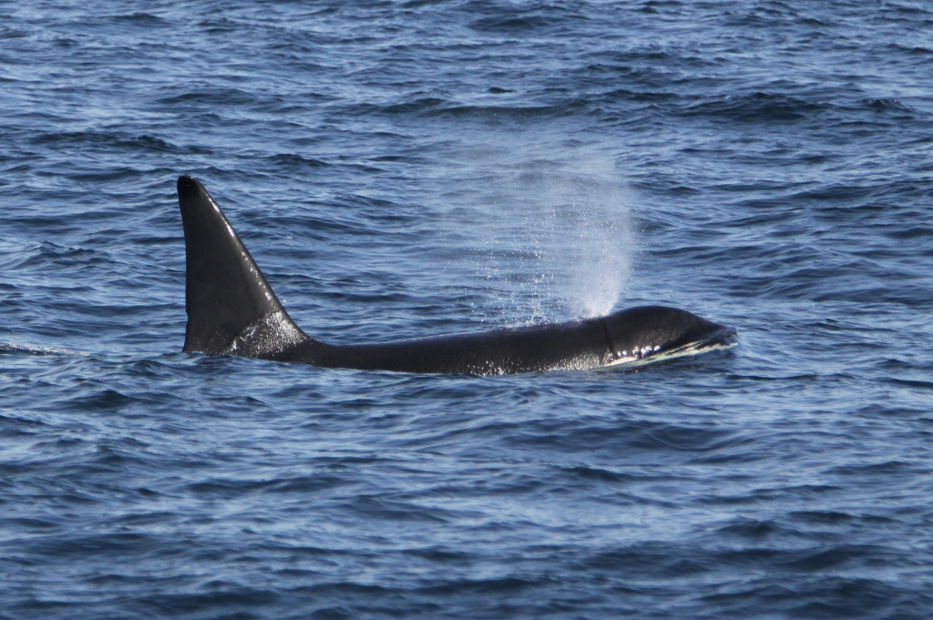Watch Killer Whale in West Cork - Whale and Dolphin Watching Trips in Cork