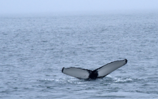 HBIRL79, One of three humpback whales spotted by the AW&WT team on April 21st 2019